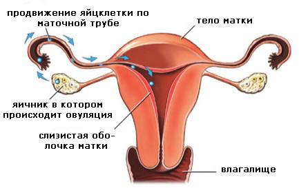 ovulation1