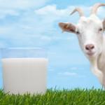 Насколько полезно козье молоко для грудничков?