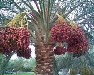 Финики являются одними из самых древних фруктов, которые были окулированы человеком