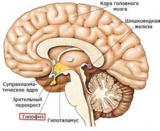 Пролактин вырабатывается гипофизом, и играет большую роль в женском организме