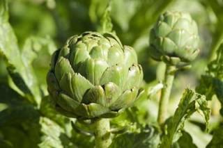 Хофитол – это лекарство растительного происхождения, в основу которого заложен артишок
