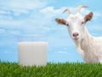 Может ли быть аллергия на козье молоко: мнение специалистов