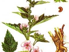 Корень алтея: инструкция по использованию лекарственного средства