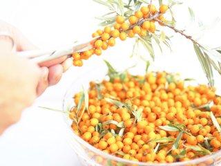урожай плодов облепихи