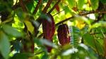 Какао: польза или вред. Несколько «за» и «против»